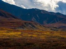 Amerikaanse elanden in Autumn Tundra, Berglandschap, het Nationale Park van Denali stock afbeeldingen
