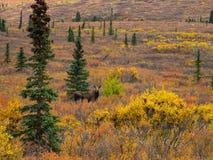 Amerikaanse elanden in Autumn Tundra in het Nationale Park van Denali stock foto's