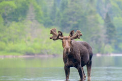 Amerikaanse elanden in de rivier Stock Foto's