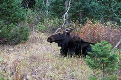Amerikaanse elanden die in de bergen liggen Stock Fotografie