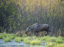 Amerikaanse elanden die door moerasgebied waden in Alberta, Canada Stock Foto