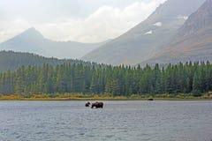 Amerikaanse elanden die in een Ver Alpien Meer in de herfst voeden royalty-vrije stock afbeeldingen