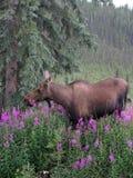 Amerikaanse elanden die op Wilgeroosje voeden Stock Afbeelding