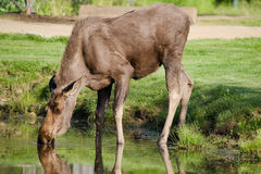 Amerikaanse elanden die van vijver drinken Stock Foto