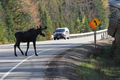 Amerikaanse elanden die Weg kruisen Royalty-vrije Stock Foto