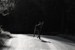 Amerikaanse elanden die weg kruisen bij nacht Stock Foto