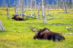 Amerikaanse elanden die in Weide rusten stock foto's