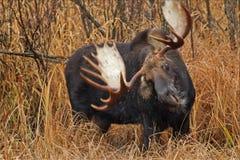 Amerikaanse elanden die zijn hoofd schudden Royalty-vrije Stock Fotografie
