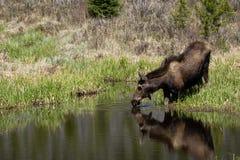 Amerikaanse elanden Drinkwater Royalty-vrije Stock Afbeeldingen