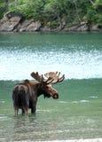 Amerikaanse elanden in een meer Royalty-vrije Stock Afbeelding