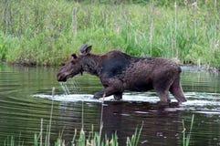 Amerikaanse elanden in een vijver Royalty-vrije Stock Fotografie