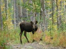 Amerikaanse elanden het Letten op Royalty-vrije Stock Foto