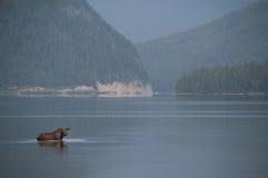 Amerikaanse elanden in het meer. Stock Foto's