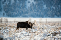 Amerikaanse elanden, het Nationale Park van Grand Teton Stock Foto