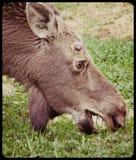 Amerikaanse elanden het Weiden Stock Fotografie
