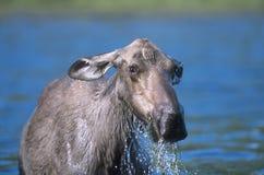 Amerikaanse elanden in meer (Alces alces) Stock Foto's