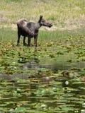 Amerikaanse elanden onder de Stootkussens van de Lelie royalty-vrije stock fotografie