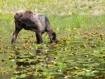 Amerikaanse elanden onder de Stootkussens van de Lelie Stock Foto