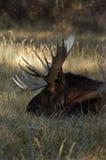 Amerikaanse elanden op een Gebied Royalty-vrije Stock Afbeelding