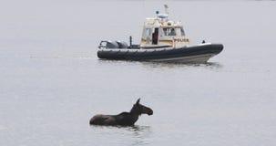 Amerikaanse elanden in rivier en politieboot stock videobeelden