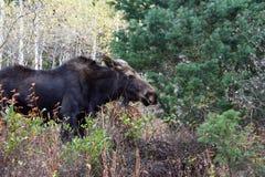 Amerikaanse elanden in Rocky Mountains Royalty-vrije Stock Fotografie