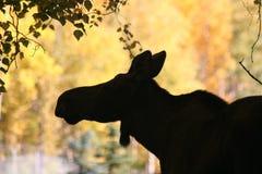 Amerikaanse elanden Sillhouette Stock Foto