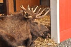 Amerikaanse elanden in Vrede royalty-vrije stock foto's