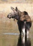 Amerikaanse elanden in water stock fotografie