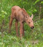 Amerikaanse elandenkalf stock fotografie