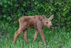 Amerikaanse elandenkalf stock foto's