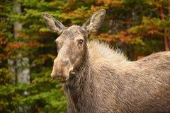 Amerikaanse elandenkoe stock afbeeldingen
