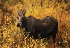 Amerikaanse elandenkoe in Grote Hemel, Montana Royalty-vrije Stock Foto