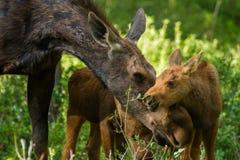 Amerikaanse elandenmoeder en tweelingkalverenliefkozing Stock Foto