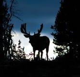 Amerikaanse elandensilhouet Stock Foto