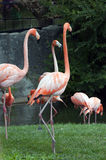 Amerikaanse Flamingo Royalty-vrije Stock Fotografie
