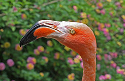 Amerikaanse Flamingo Royalty-vrije Stock Afbeelding