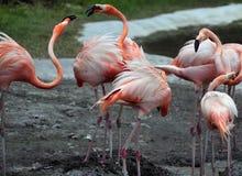 Amerikaanse Flamingo Royalty-vrije Stock Afbeeldingen