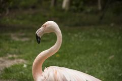 Amerikaanse Flamingo De Amerikaanse flamingo Phoenicopterus ruber Stock Afbeeldingen