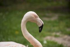 Amerikaanse Flamingo De Amerikaanse flamingo Phoenicopterus ruber Stock Foto
