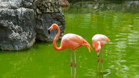 Amerikaanse flamingo die zich in het water bevinden Royalty-vrije Stock Fotografie