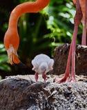 Amerikaanse Flamingo met baby royalty-vrije stock foto's