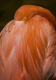 Amerikaanse Flamingo op Zwarte Royalty-vrije Stock Afbeelding