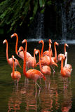 Amerikaanse Flamingo, Oranje flamingo Stock Fotografie