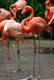 Amerikaanse Flamingo (Phoenicopterus ruber) Stock Afbeelding