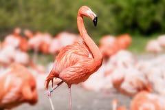 Amerikaanse Flamingo - Phoenicopterus ruber - mooie rode gekleurde vogel Stock Foto