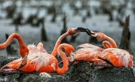 Amerikaanse Flamingo's of Caraïbische flamingo's (Phoenicopterus ruber ruber) Kolonie van Grote Flamingo de nesten Stock Afbeelding