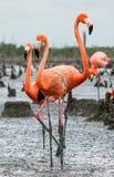 Amerikaanse Flamingo's of Caraïbische flamingo's (Phoenicopterus ruber ruber) Kolonie van Grote Flamingo de nesten Royalty-vrije Stock Foto