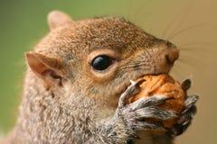 Amerikaanse grijze eekhoorn Royalty-vrije Stock Afbeelding