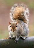 Amerikaanse grijze eekhoorn Royalty-vrije Stock Foto