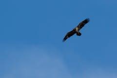 Amerikaanse Junevile Kaal Eagle Royalty-vrije Stock Fotografie